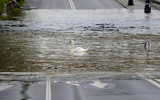лебеди плавают на шоссе